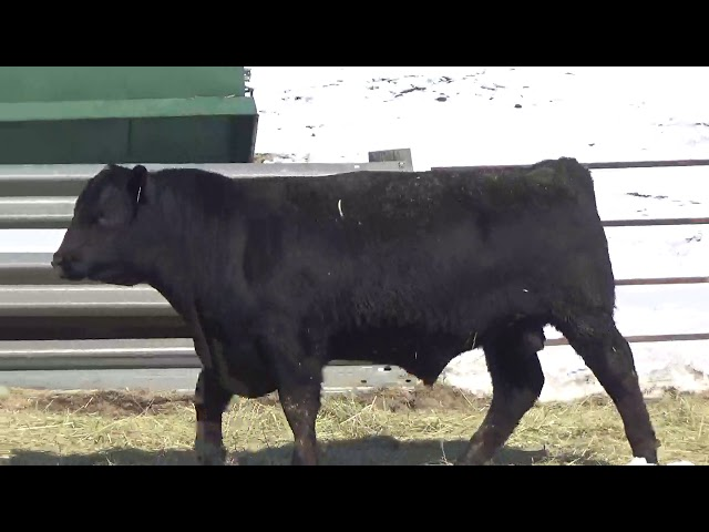 Connealy Angus Lot 448
