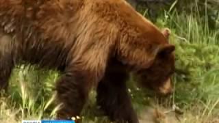 В Канском районе медведь держит в страхе деревню