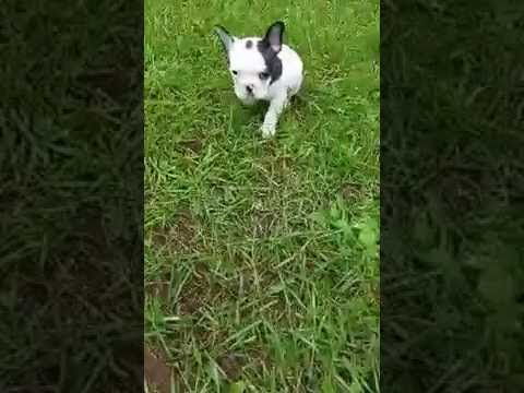 Adorable male french bulldog puppy for sale