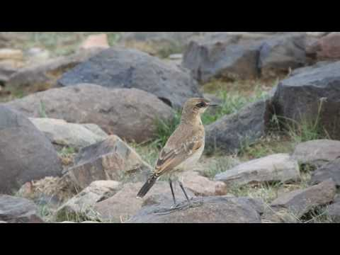 Red-breasted Wheatear (Immature): Abha, Saudi Arabia, August 2018