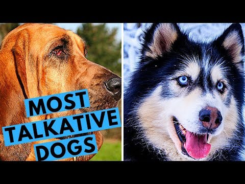 Top 10 Most Talkative and Vocal Dog Breeds