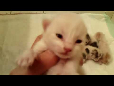 Japanese Bobtail Kittens out of CH Kiddlyn's Cinder-Ella  Born 3/24/18