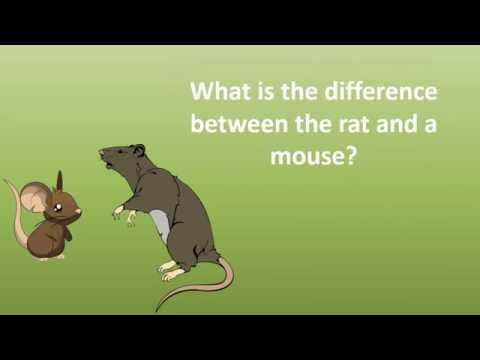 What Is The Difference Between The Rat And A Mouse ?