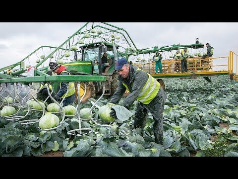 World Modern Agriculture,Cutting Flower Tulips,Cabbage Harvesting