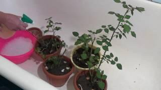 видео Паутинный клещ на комнатных растениях
