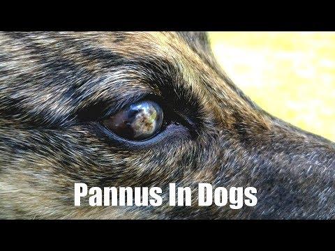 Pannus In Dogs [2.10]
