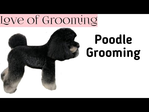 Poodle Grooming with Some Flare!