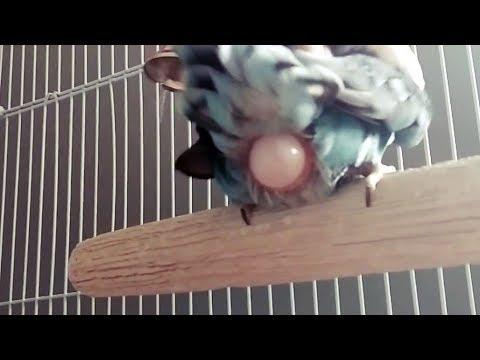 🐦🥚 Lovebird laying an egg