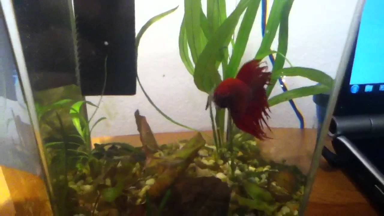 Bamboo in a fish bowl youtube reviewsmspy