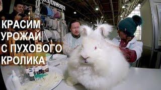 Ангорский пуховый кролик. Получаем урожай пуха. Красим кроличий пух