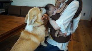 【コーギーと赤ちゃん】タマとあゆの初めてのご対面 thumbnail