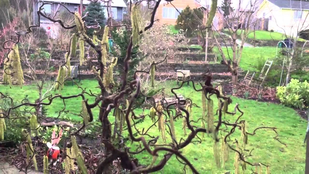 Harry lauder walking stick trees - Harry Lauder S Walking Stick Catkins In The Wind