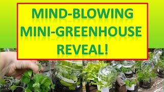 Mind-blowing Mini-greenhouse Reveal! 1st Winter Sowing Results For 2015