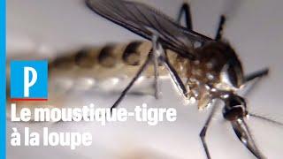 Moustique-tigre : 3 questions à Anna-Bella Failloux, chercheuse à l'Institut Pasteur