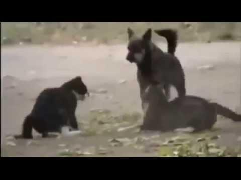 Драка котов и собак видео