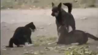 Собака остановила драку кошек.  Смешные животные  - видео приколы