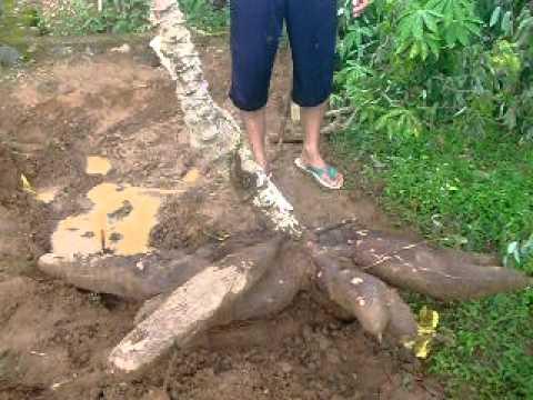 Ubi Kayu Raksasa 55 Kg Per Pohon Youtube