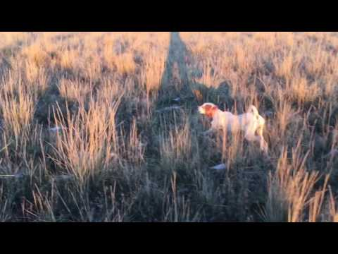 English Pointer 7 months old training