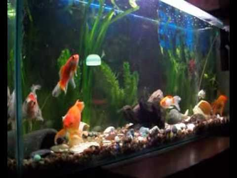Mi acuario de peces de agua fria youtube for Red para peces de acuario