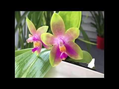 Phalaenopsis Joshua Irwin Ginsberg (bellina x venosa)