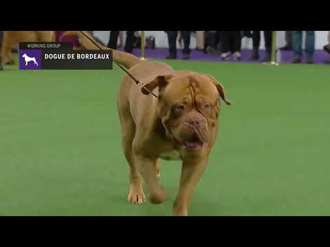 Dogues de Bordeaux | Breed Judging 2019