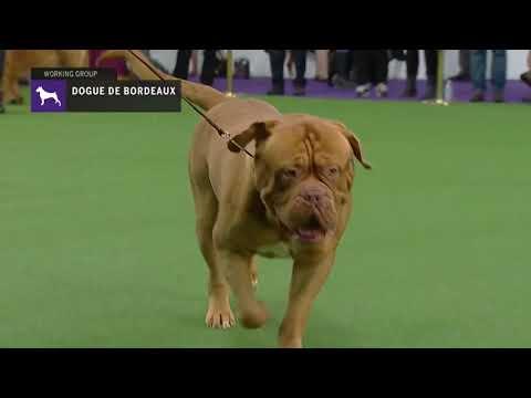 Dogues de Bordeaux | Breed Judging 2019