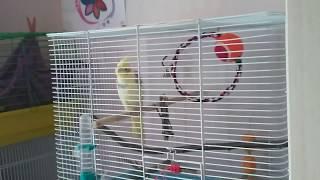Попугай Корелла ►10◄ Самка поет - воркует