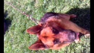 Njemacki Ovcar - German Shepherd Dog