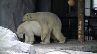 旭川市 旭山動物園でシロクマが交尾