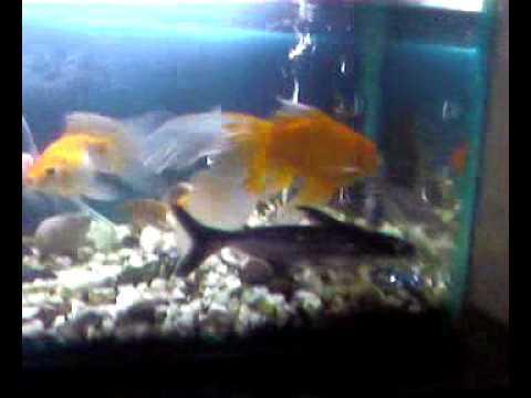 gv akvariumi