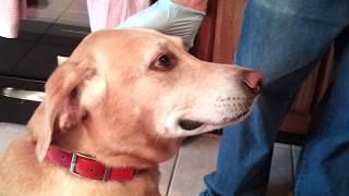 Labrador Retriever Smiling - Yellow Lab