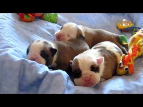 NEWBORN BABY BULLDOG PUPPIES- Champion Sired