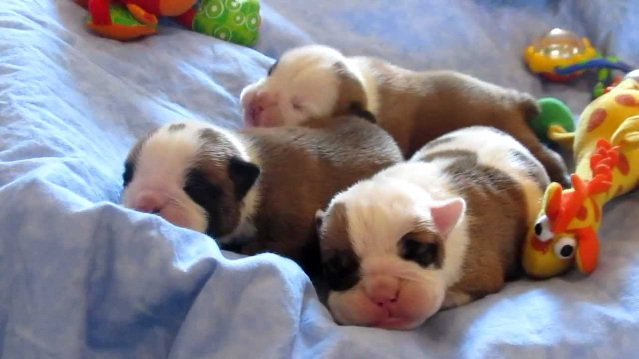 Newborn Baby Bulldog Puppies Champion Sired Youtube