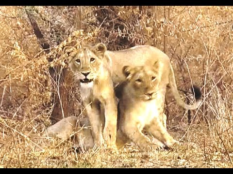 Unique Asiatic Lion (Panthera leo persica) Cubs More Sighted in Gir Sanctuary in Gujarat INDIA
