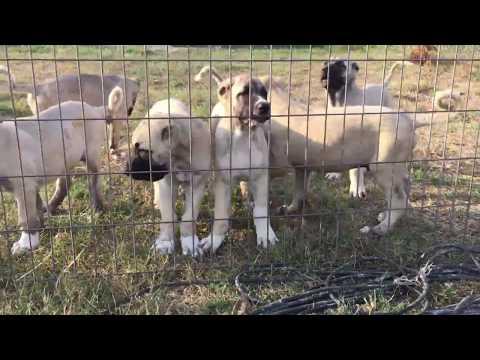 Boz shepherd puppys