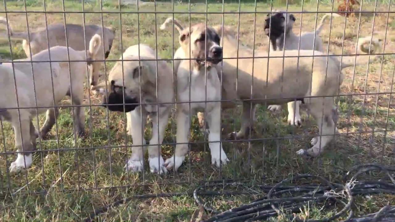 Kangal Dog Rescue Ny