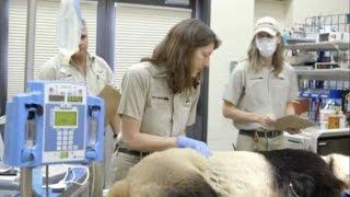Панду из зоопарка Сан-Диего отправили к стоматологу (новости) http://9kommentariev.ru/(, 2014-09-12T09:02:40.000Z)