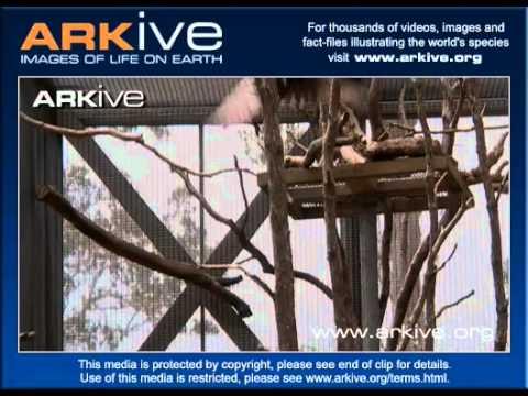 Hawaiian Crow (Corvus Hawaiiensis)