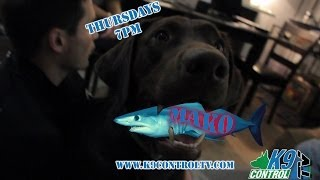 Labrador Dog Training, Brookly Ny, The Mako Shark!! K9 Control