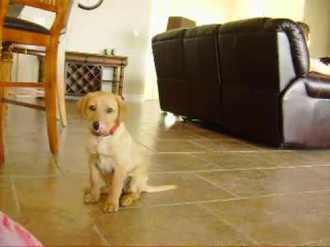 Clicker training 10 week old puppy