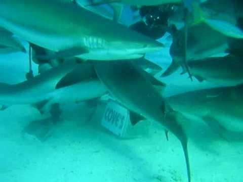 sheark feed in the bahamas 2006