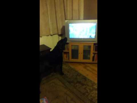 dog likes coronation street theme tune