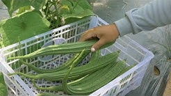 Growing luffa / patola - Step by step. Shared by the Veggie Man.