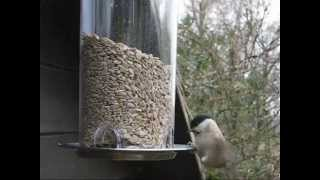 Marsh Tit - Busy At The Bird Feeder