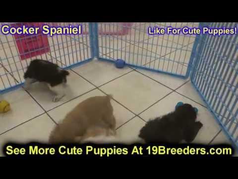 Cocker Spaniel, Puppies, For, Sale, in, Mobile, County, Alabama, AL, Huntsville, Morgan, Calhoun, Et