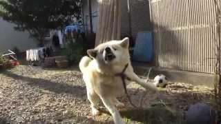 年に1度、帰省のときしか会わない実家の秋田犬・チェリー(雌・5歳半)...