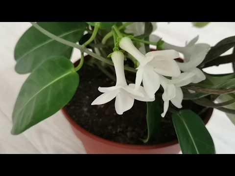 """Стефанотис """"Мадагаскарский жасмин"""" - как правильно ухаживать, чтобы радовал цветением"""