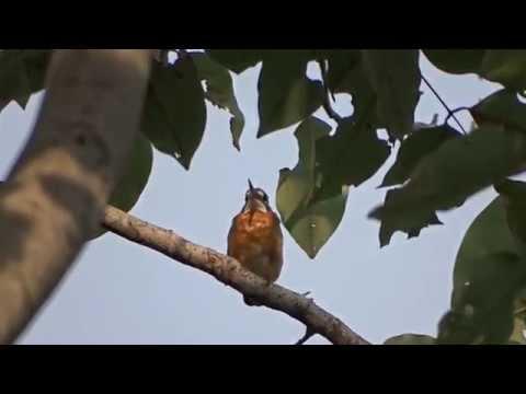 Meninting Ijsvogel / Blue-eared Kingfisher In Kalasin, Thailand