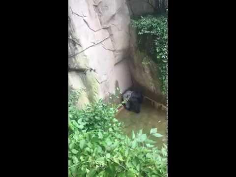 Cincinnati zoo kills gorilla to save boy who fell into enclosure HD Original
