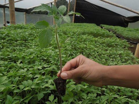 Plantulas Produccion De Plantas Para Huertos